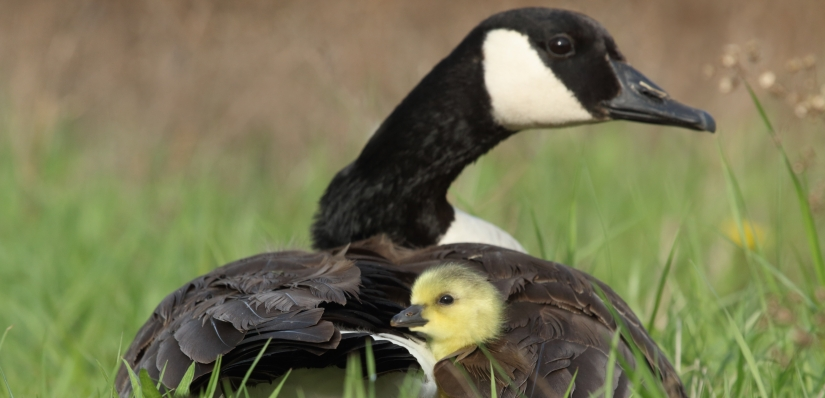 mother-goose-and-baby.jpg
