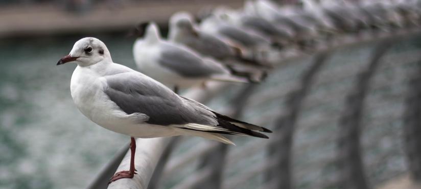 Pigeons Line